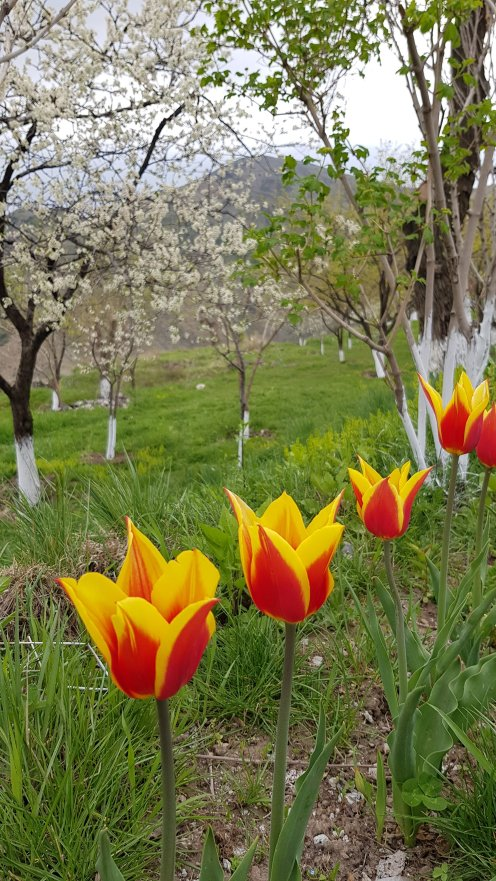 Tulips and plum trees