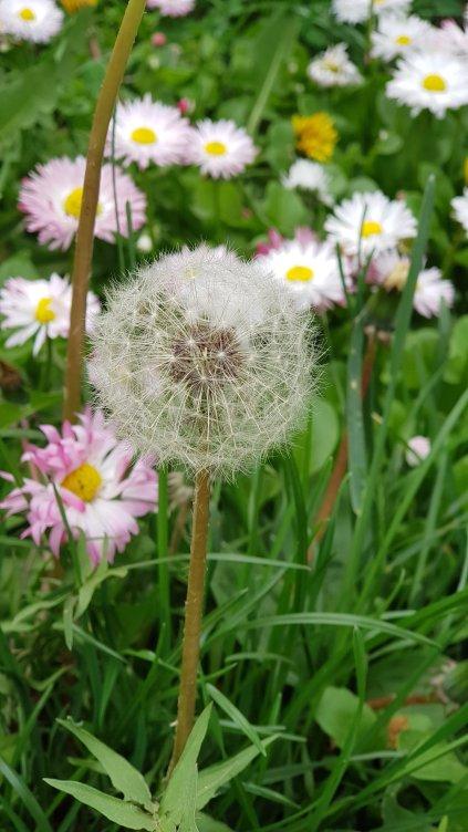 my favorite dandelion